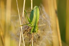 Grasshopper. Nature green wild field Stock Images
