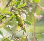 Grasshopper in nature. macro Royalty Free Stock Photos