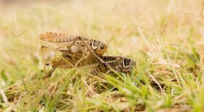 Grasshopper in nature. macro. In the park in nature royalty free stock photography