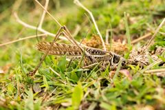 Grasshopper in nature. macro. In the park in nature stock images