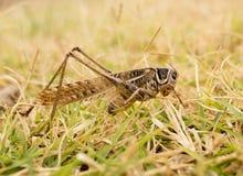 Grasshopper in nature. macro. In the park in nature stock photo