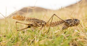 Grasshopper in nature. macro. In the park in nature royalty free stock image