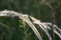 Grasshopper on needlegrass Stock Photos