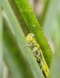 Grasshopper nigricornis Valanga Στοκ εικόνα με δικαίωμα ελεύθερης χρήσης