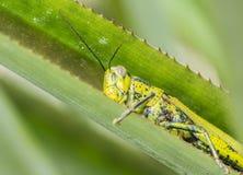 Grasshopper nigricornis Valanga Στοκ φωτογραφία με δικαίωμα ελεύθερης χρήσης