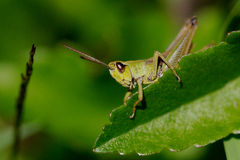 Grasshopper (No. 2) Stock Image