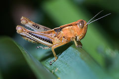 Grasshopper Nymph Royalty Free Stock Photos