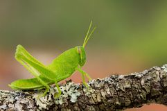 Grasshopper nymph Royalty Free Stock Photography