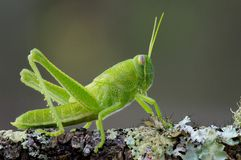 Grasshopper nymph Stock Photo