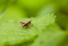 Grasshopper nymph on leaf Stock Photography