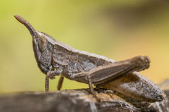 A Grasshopper nymph Stock Images
