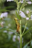 Grasshopper on Obedient plant Stock Photography