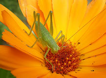 Grasshopper On A Daisy