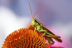 Free Grasshopper On Coneflower Stock Photo - 26008260