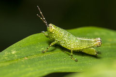 Free Grasshopper On Leaf Royalty Free Stock Images - 58204299