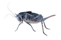 Grasshopper Onconotus servillei Royalty Free Stock Photo
