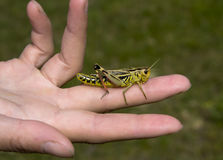 Grasshopper on the opened palm Stock Image