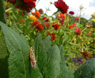 Grasshopper in an organic garden. Grasshopper in an edible organic garden with zinnia flowers in the background stock photo