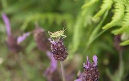 Grasshopper over  lavender flower Royalty Free Stock Images