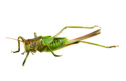 Grasshopper over white background Royalty Free Stock Photo