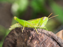 Grasshopper Perched on Decay leaf. The Grasshopper Perched on Decay leaf Royalty Free Stock Photo