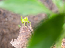 Grasshopper Perched on Decay leaf. The Grasshopper Perched on Decay leaf Royalty Free Stock Images