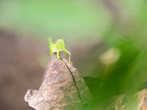 Grasshopper Perched on Decay leaf. Blur View Royalty Free Stock Images