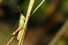 Grasshopper. Perched on a twig Royalty Free Stock Photography