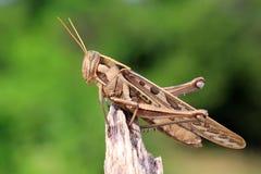 Grasshopper perching Stock Image