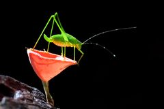 Grasshopper perching Stock Images