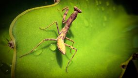 A grasshopper is perching on a dragon fruit leave.