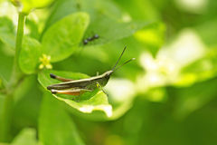 Grasshopper perching on green leaf Royalty Free Stock Photo