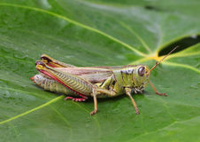 Grasshopper perching on green leaf Royalty Free Stock Images