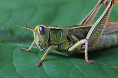 Grasshopper perching on green leaf Stock Photos