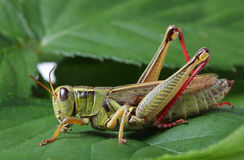 Grasshopper perching on green leaf Stock Photo