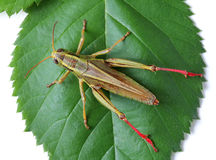 Grasshopper perching on green leaf Stock Image