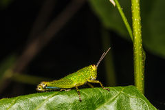 Grasshopper perching on a leaf Stock Images