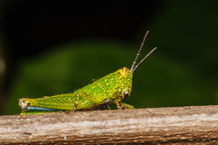 Grasshopper perching on a leaf Royalty Free Stock Image