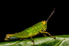 Grasshopper perching on a leaf Royalty Free Stock Images