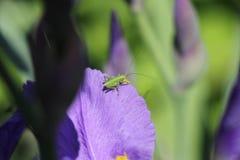 Grasshopper. On a petall of iris Stock Photo