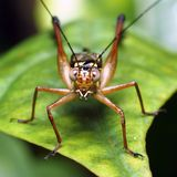 Grasshopper on a piece of leave. Macro of a brown grasshopper on a piece of leave Royalty Free Stock Photo