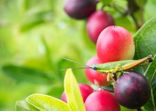 Grasshopper on pink berry fruit. Nature background. Grasshopper on pink berry fruit. Nature background with copy space. Relax and comfortable feeling. Like to Royalty Free Stock Images