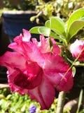 Pink Adenium stock photos