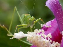 Grasshopper on a pink flower. Green grasshopper on a pink flower Royalty Free Stock Images