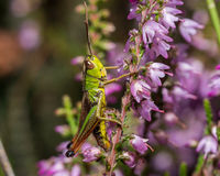 Grasshopper on pink flower Royalty Free Stock Photos