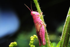 Grasshopper. Pink grasshopper sitting on a grass Stock Photos