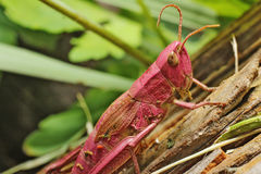 Grasshopper. Pink grasshopper sitting on ground Stock Images