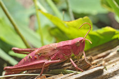 Grasshopper. Pink grasshopper sitting on log Stock Image