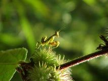 Grasshopper. On plant Stock Photo