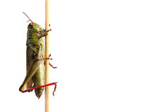 Grasshopper on plant against white background Royalty Free Stock Photos
